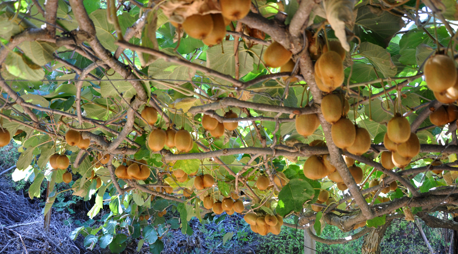 Antalya'da turfanda kivi hasadı başladı